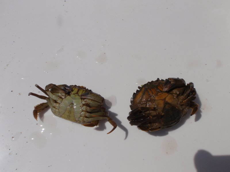 Shore crabs, male and female