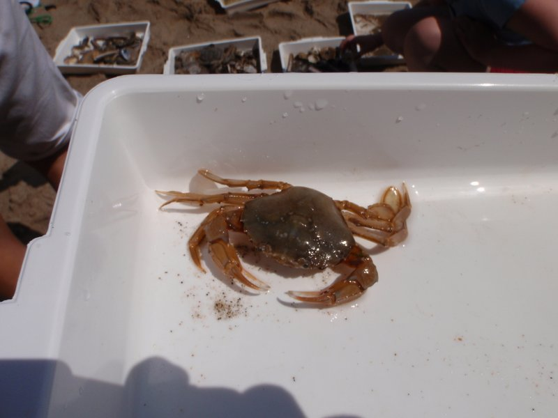 Swimming crab that was very angry